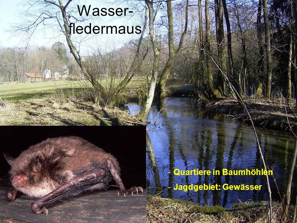 Wasser-fledermaus Quartiere in Baumhöhlen Jagdgebiet: Gewässer