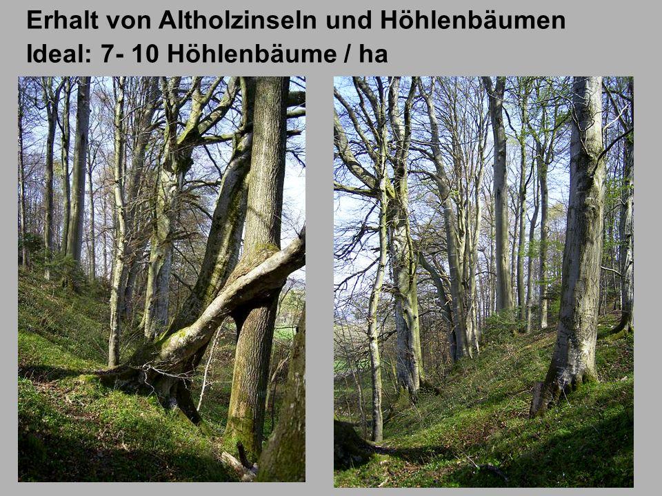 Erhalt von Altholzinseln und Höhlenbäumen