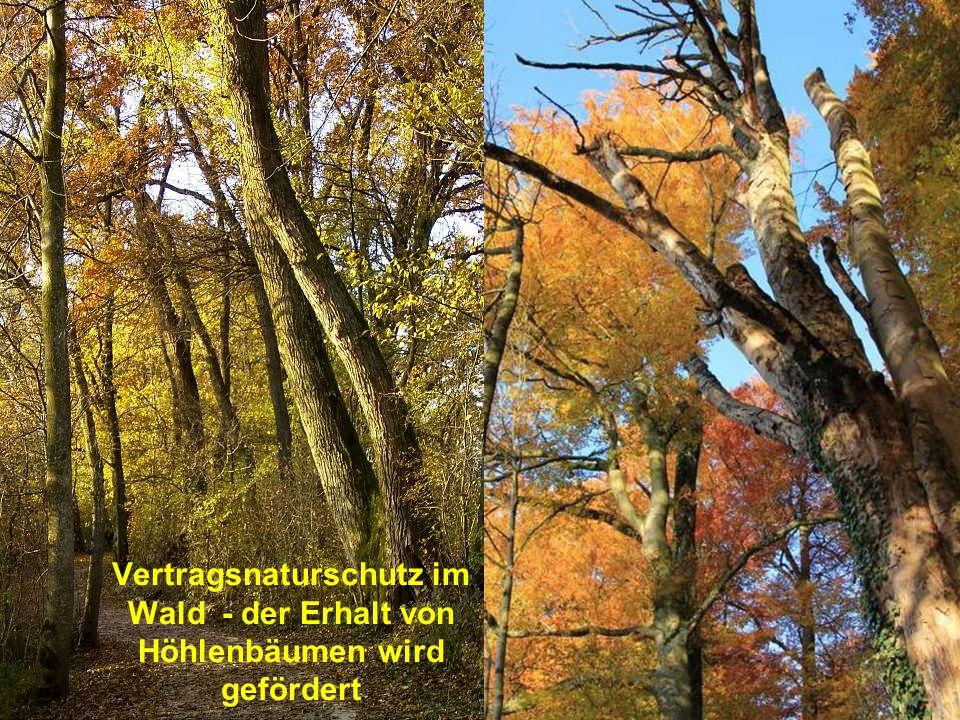 Vertragsnaturschutz im Wald - der Erhalt von Höhlenbäumen wird gefördert