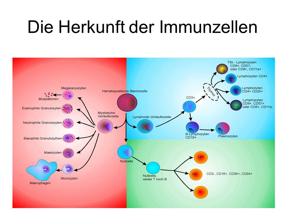 Die Herkunft der Immunzellen