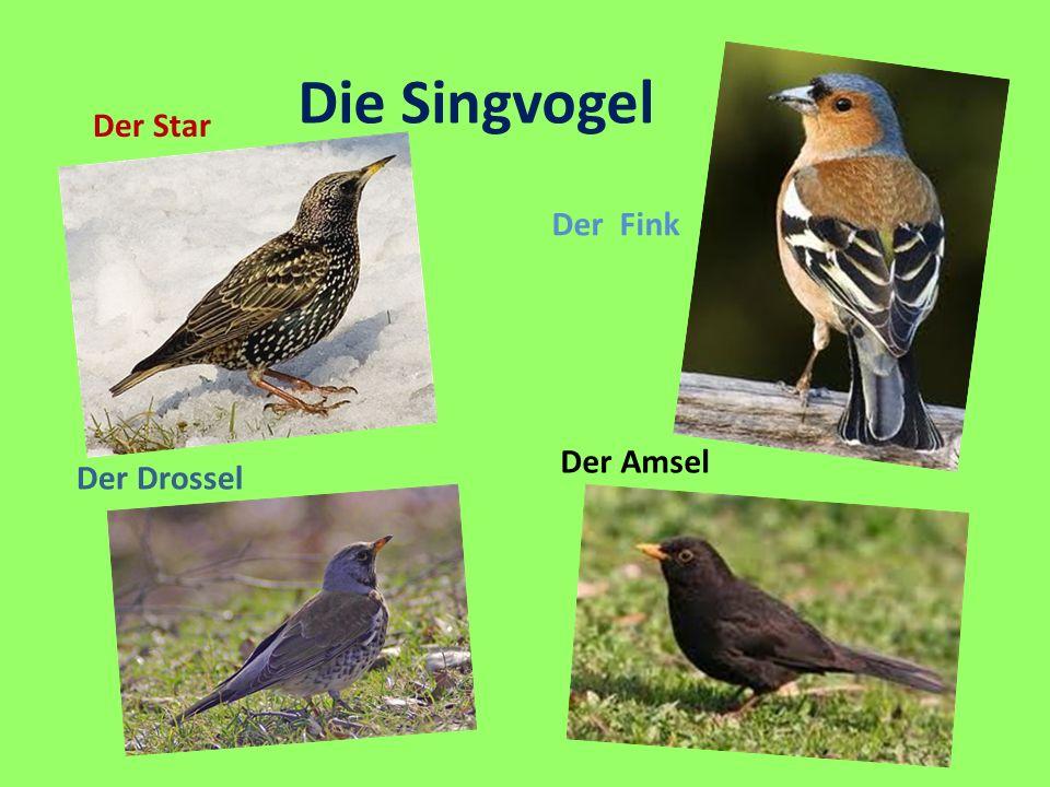 Die Singvogel Der Star Der Fink Der Amsel Der Drossel