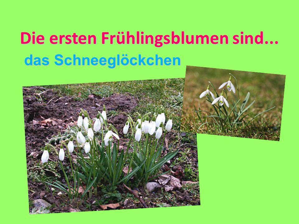 Die ersten Frühlingsblumen sind...