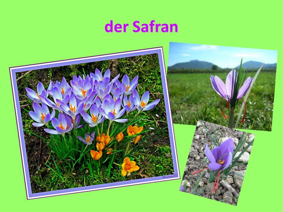 der Safran