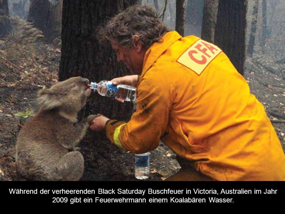 Während der verheerenden Black Saturday Buschfeuer in Victoria, Australien im Jahr 2009 gibt ein Feuerwehrmann einem Koalabären Wasser.