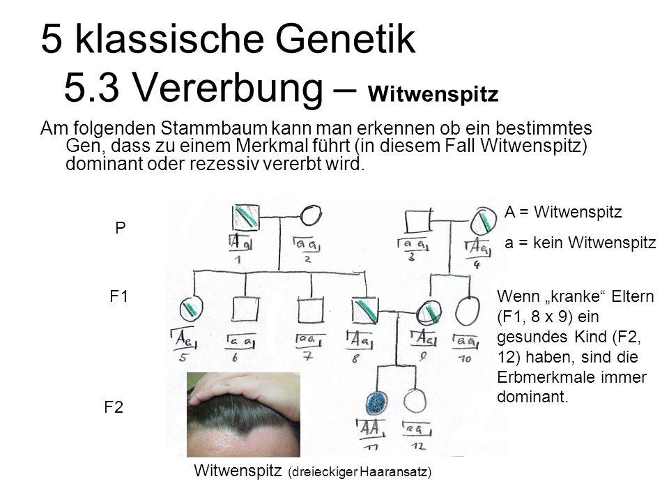 5 klassische Genetik 5.3 Vererbung – Witwenspitz