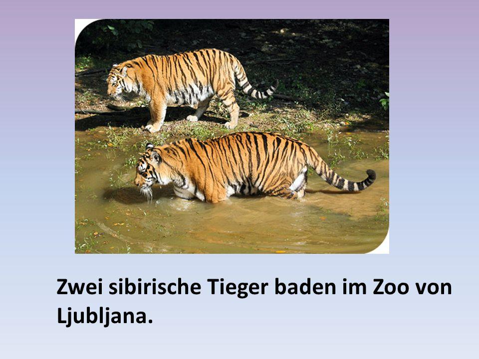 Zwei sibirische Tieger baden im Zoo von Ljubljana.