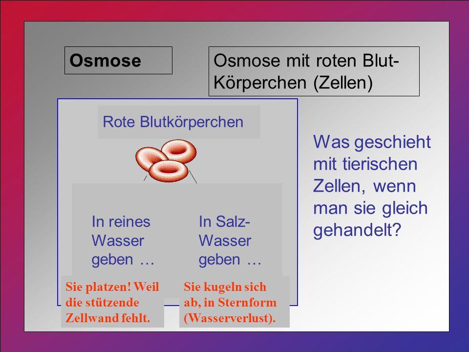 Osmose mit roten Blut-Körperchen (Zellen)