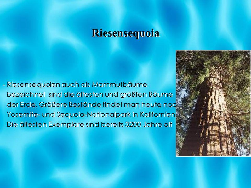 Riesensequoia - Riesensequoien auch als Mammutbäume
