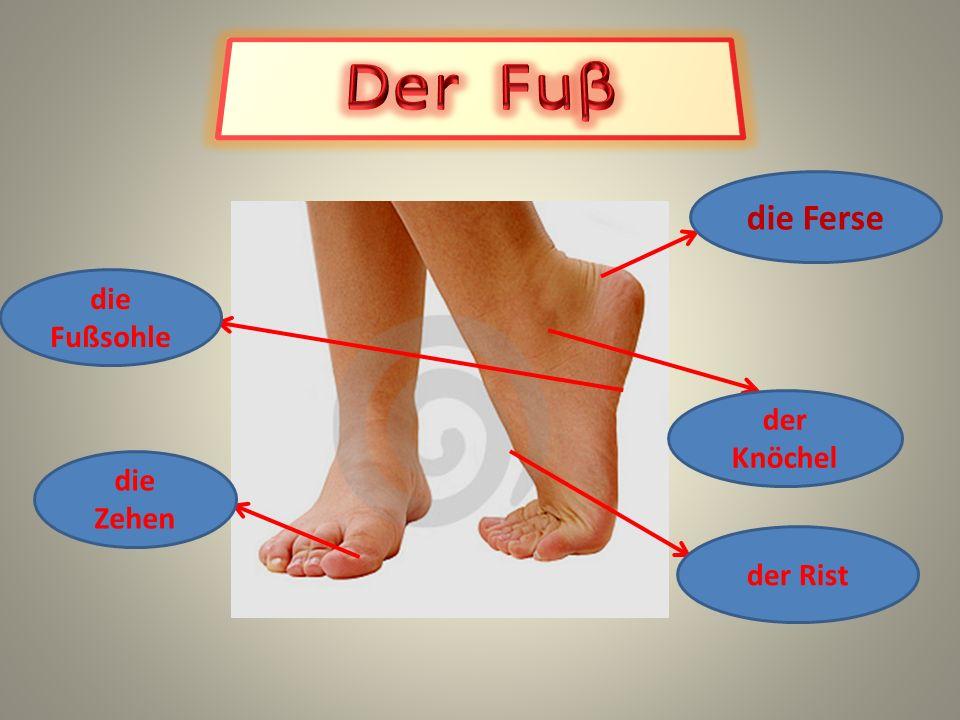 Der Fuβ die Ferse die Fußsohle der Knöchel die Zehen der Rist