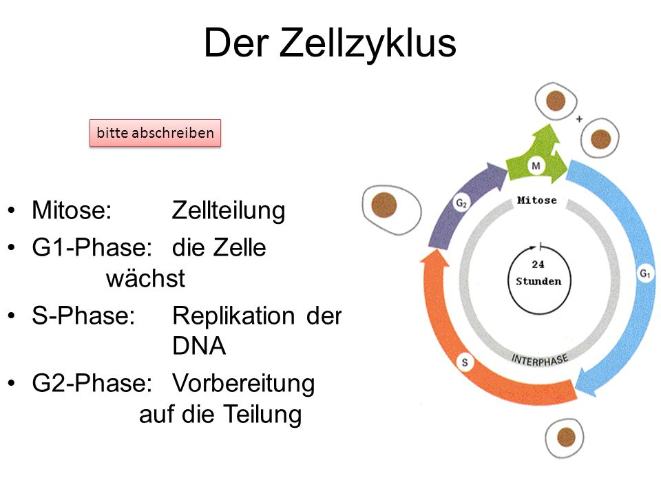 Der Zellzyklus Mitose: Zellteilung G1-Phase: die Zelle wächst