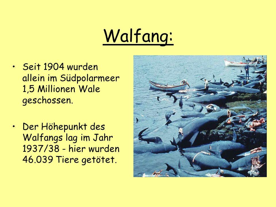 Walfang: Seit 1904 wurden allein im Südpolarmeer 1,5 Millionen Wale geschossen.