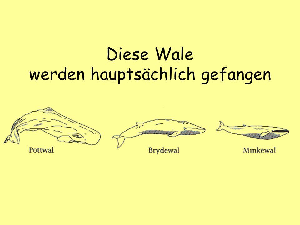 Diese Wale werden hauptsächlich gefangen