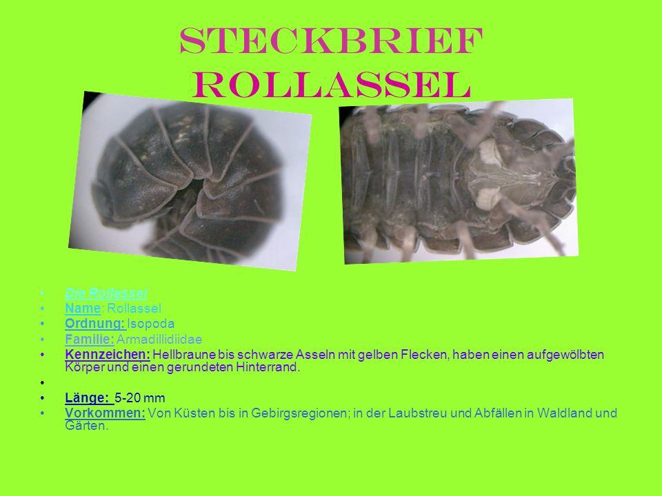 Steckbrief Rollassel Die Rollassel Name: Rollassel Ordnung: Isopoda