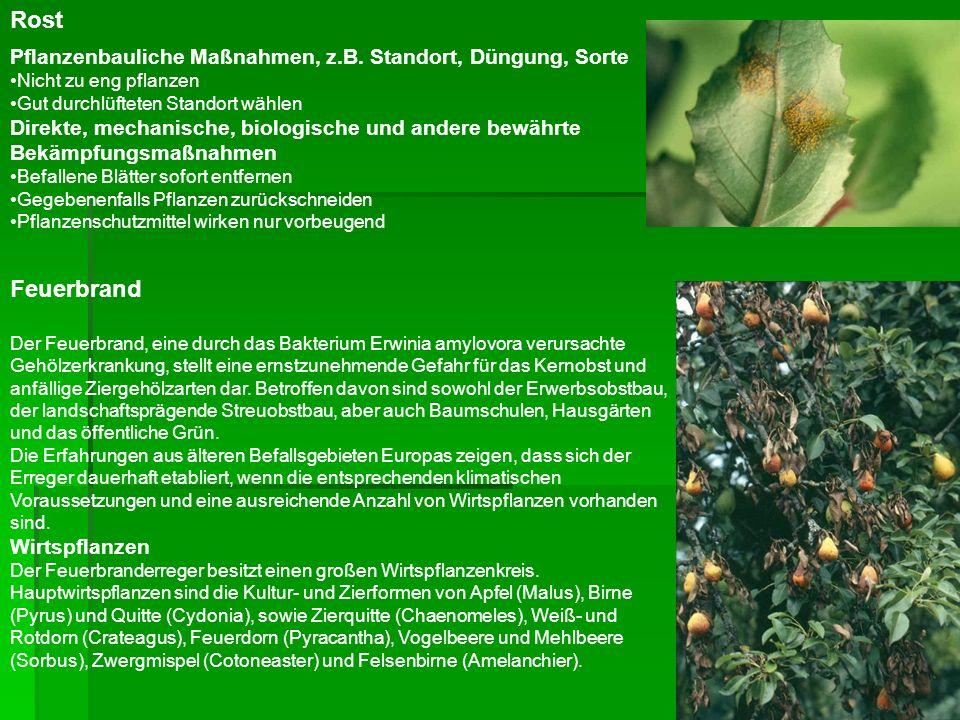 Rost Pflanzenbauliche Maßnahmen, z.B. Standort, Düngung, Sorte. Nicht zu eng pflanzen.