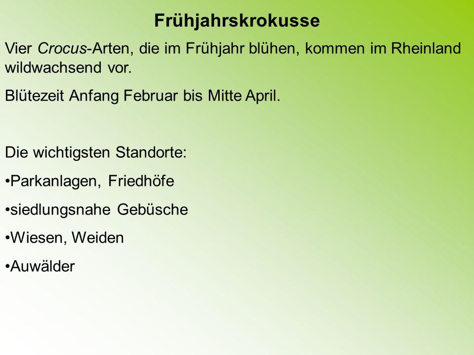 Frühjahrskrokusse Vier Crocus-Arten, die im Frühjahr blühen, kommen im Rheinland wildwachsend vor. Blütezeit Anfang Februar bis Mitte April.