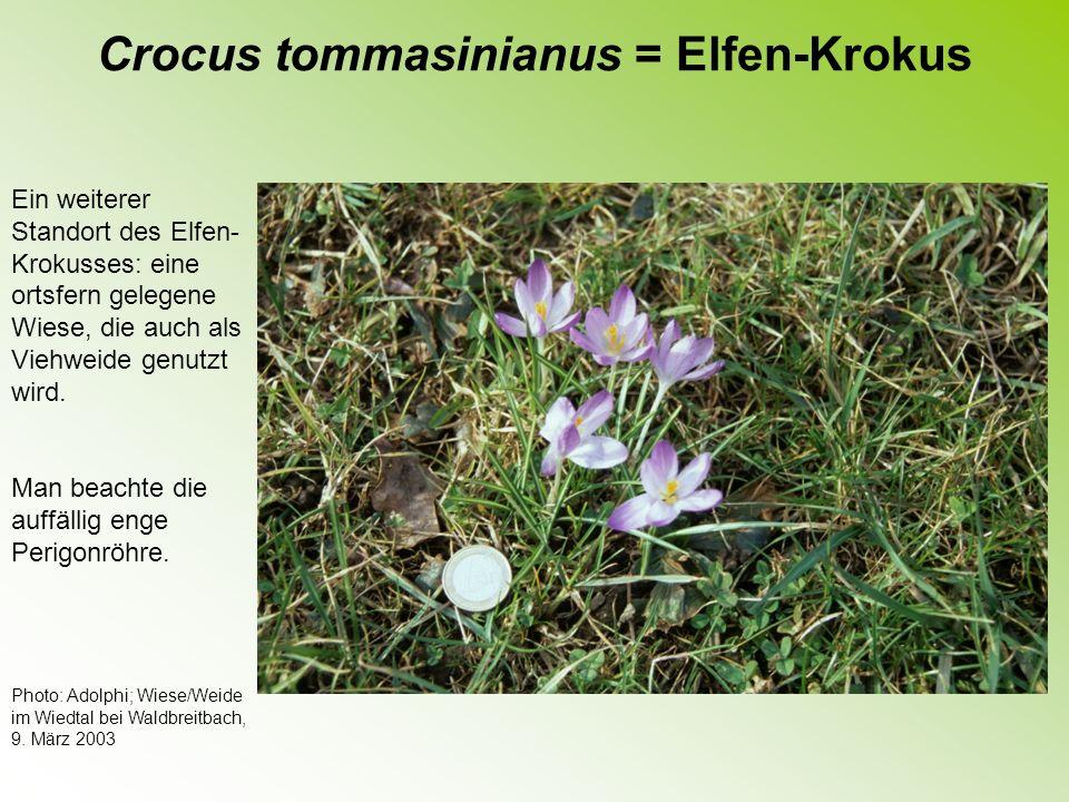 Crocus tommasinianus = Elfen-Krokus