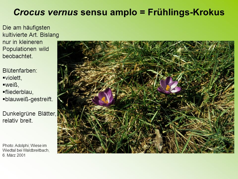 Crocus vernus sensu amplo = Frühlings-Krokus