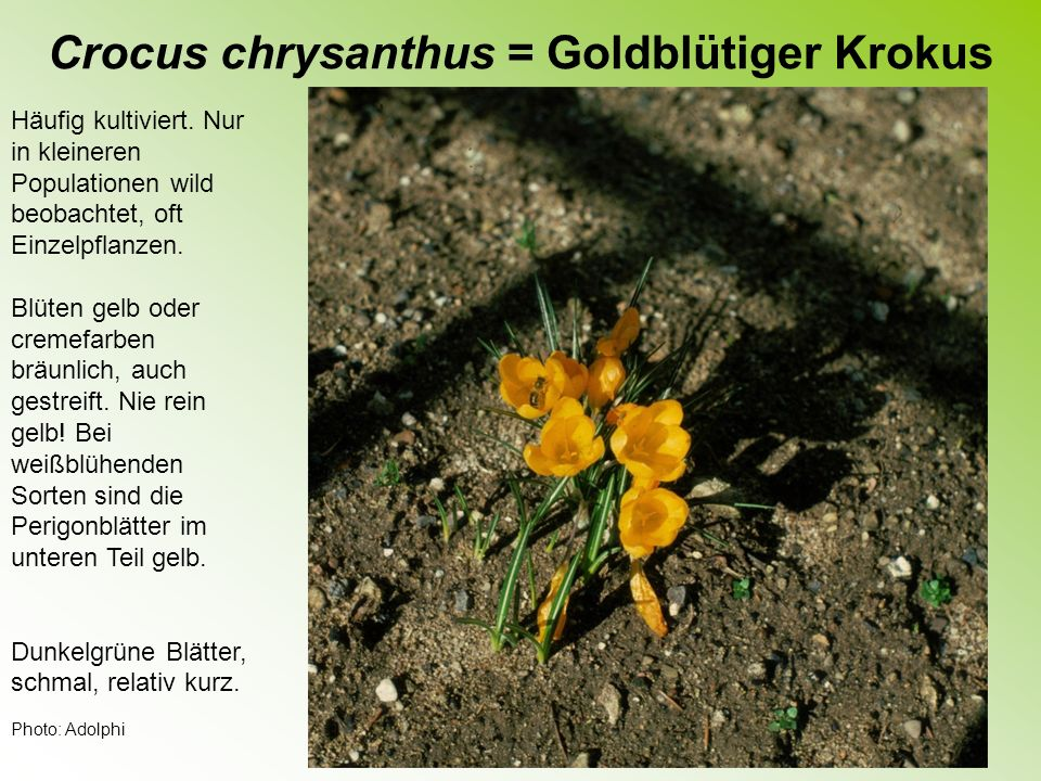 Crocus chrysanthus = Goldblütiger Krokus