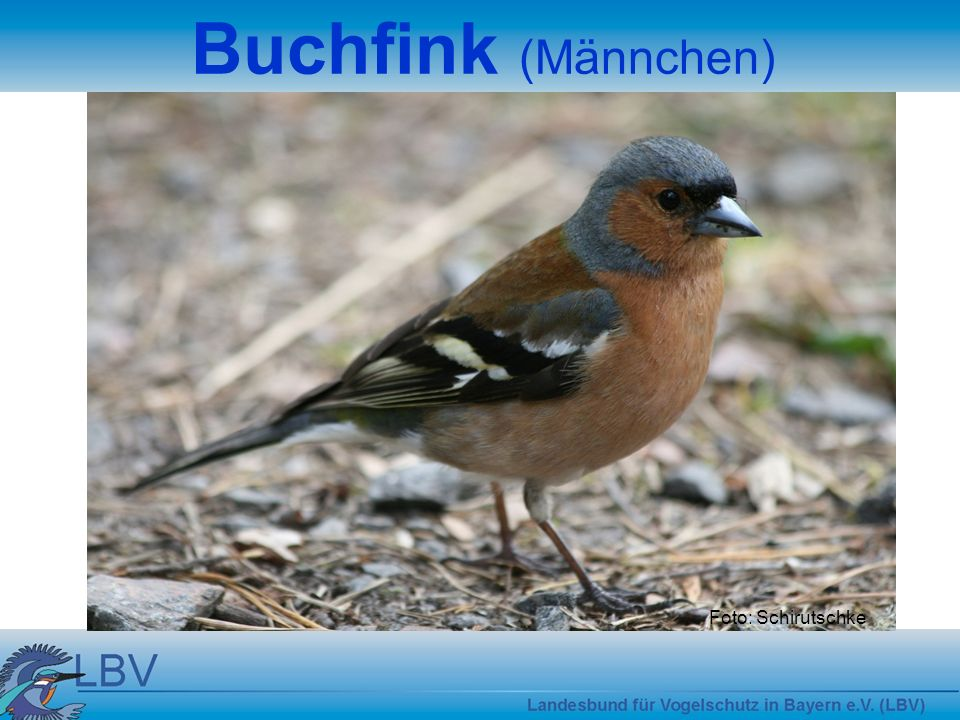 Buchfink (Männchen) Foto: Schirutschke