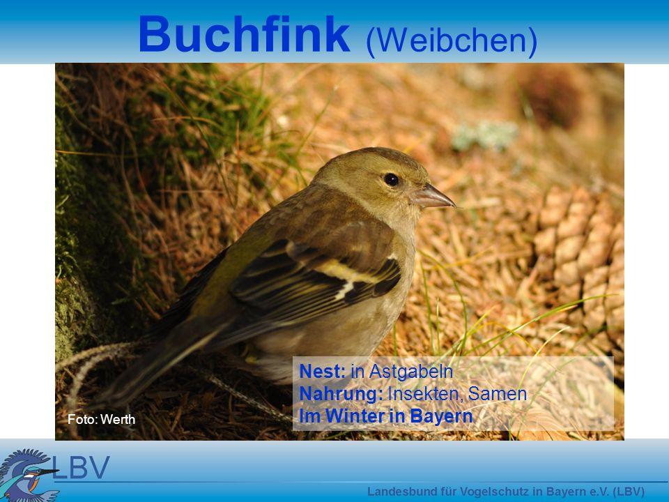 Buchfink (Weibchen) Nest: in Astgabeln Nahrung: Insekten, Samen