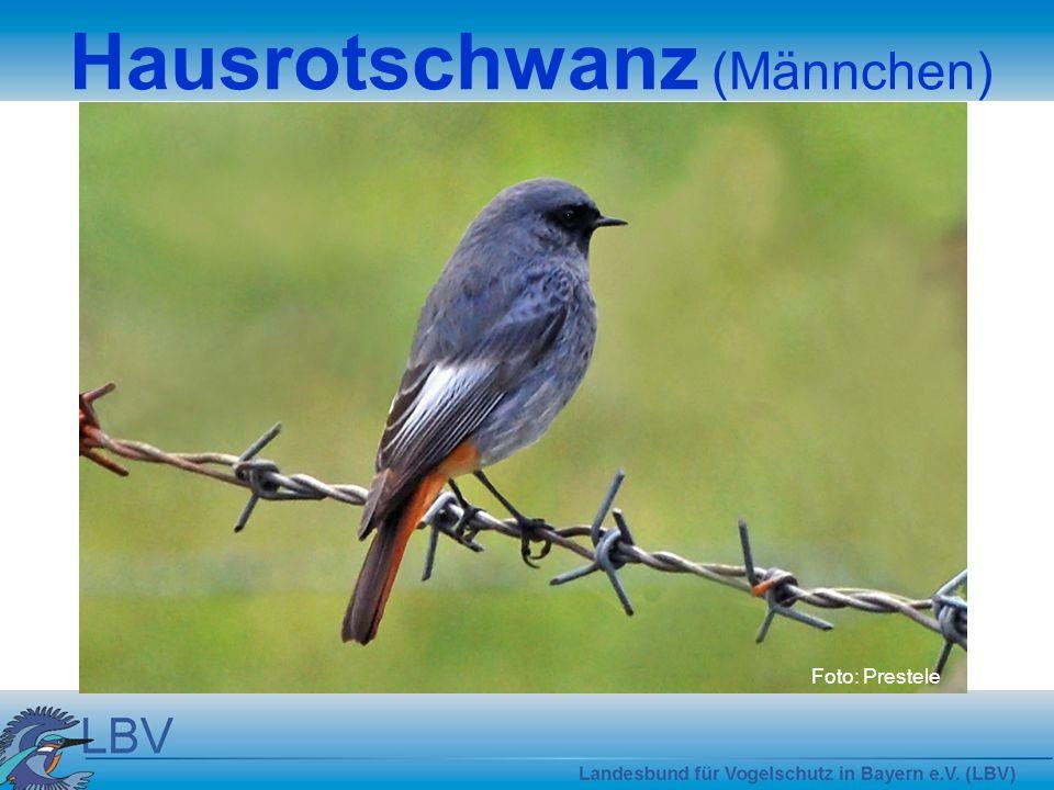 Hausrotschwanz (Männchen)