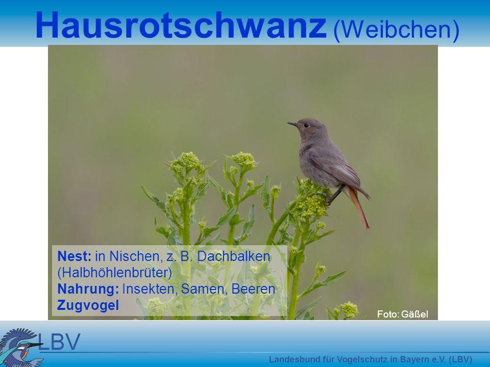 Hausrotschwanz (Weibchen)