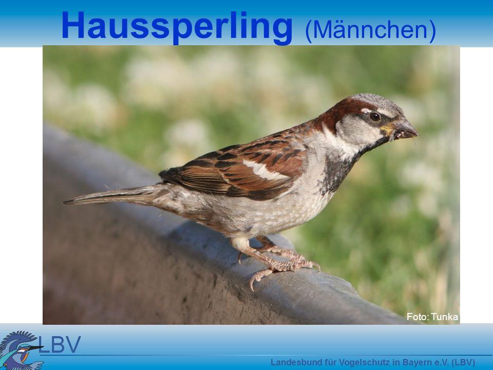 Haussperling (Männchen)
