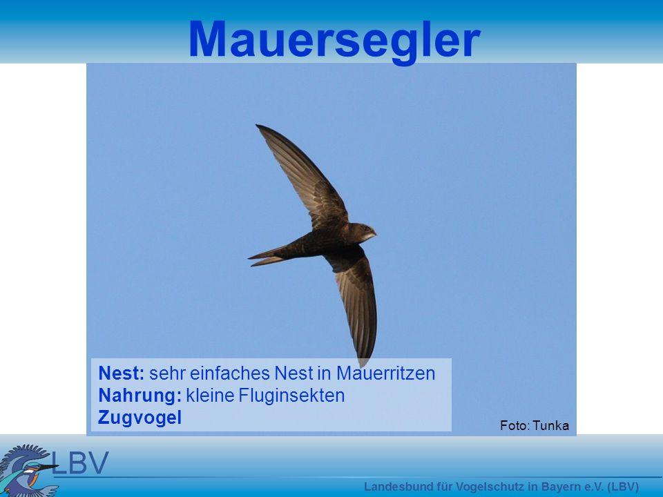 Mauersegler Nest: sehr einfaches Nest in Mauerritzen