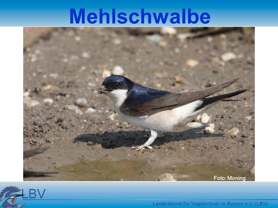 Mehlschwalbe Foto: Moning