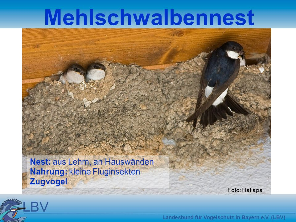 Mehlschwalbennest Nest: aus Lehm, an Hauswänden