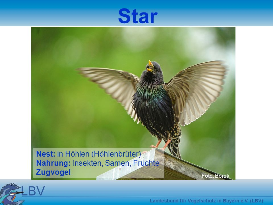 Star Nest: in Höhlen (Höhlenbrüter) Nahrung: Insekten, Samen, Früchte