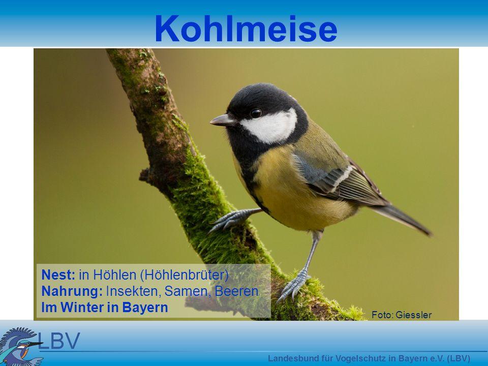 Kohlmeise Nest: in Höhlen (Höhlenbrüter)