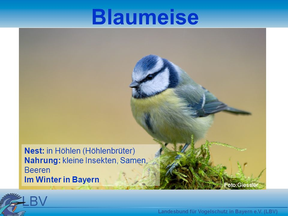 Blaumeise Nest: in Höhlen (Höhlenbrüter)