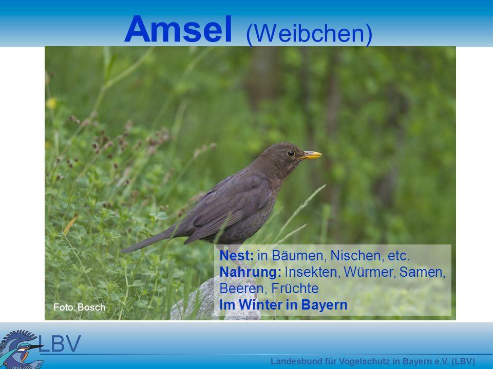 Amsel (Weibchen) Nest: in Bäumen, Nischen, etc.
