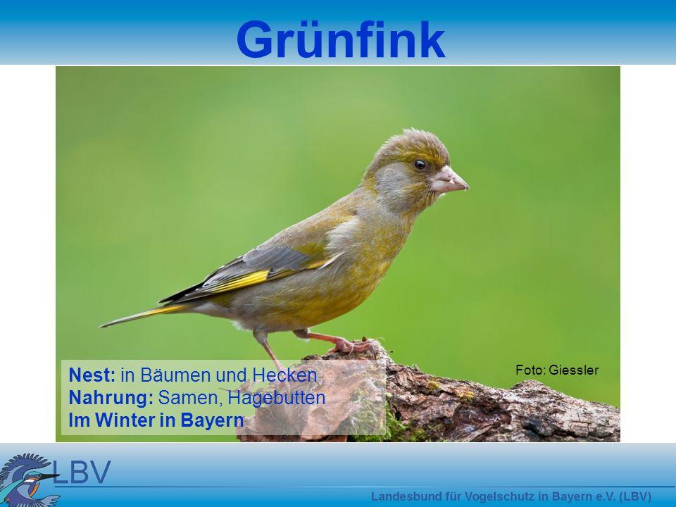 Grünfink Nest: in Bäumen und Hecken Nahrung: Samen, Hagebutten