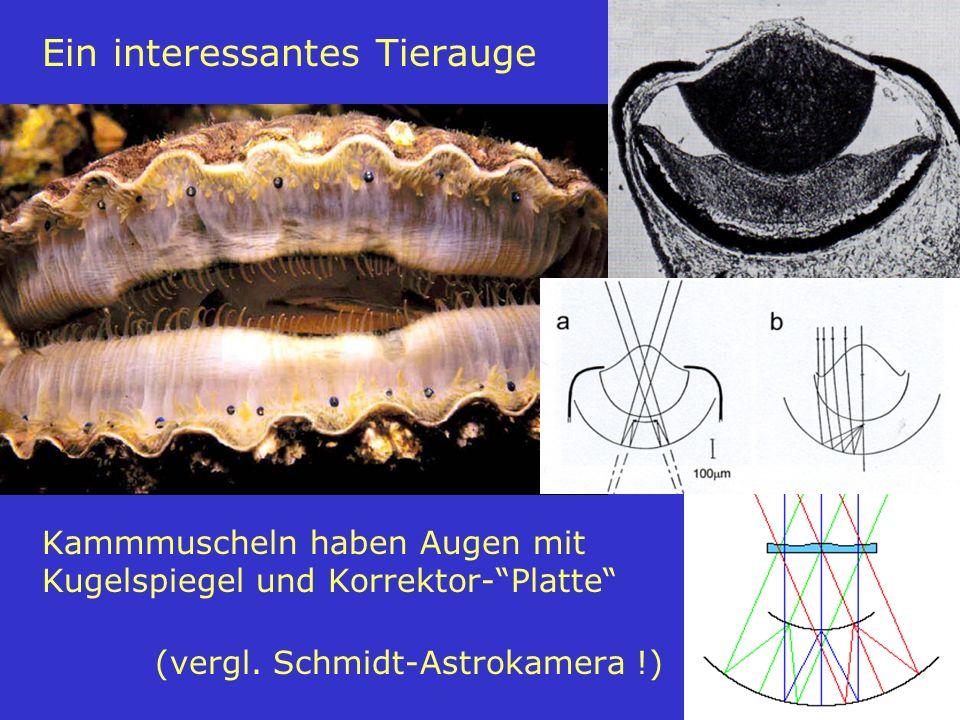 Ein interessantes Tierauge Kammmuscheln haben Augen mit Kugelspiegel und Korrektor- Platte (vergl.