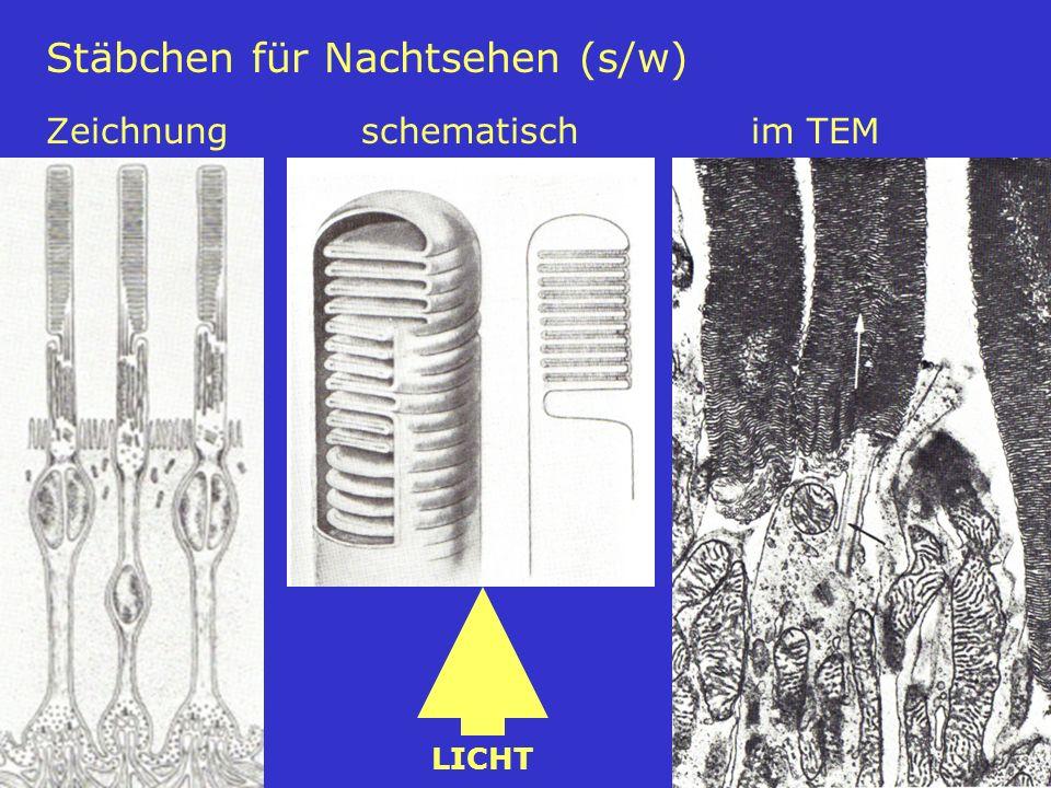 Stäbchen für Nachtsehen (s/w) Zeichnung schematisch im TEM