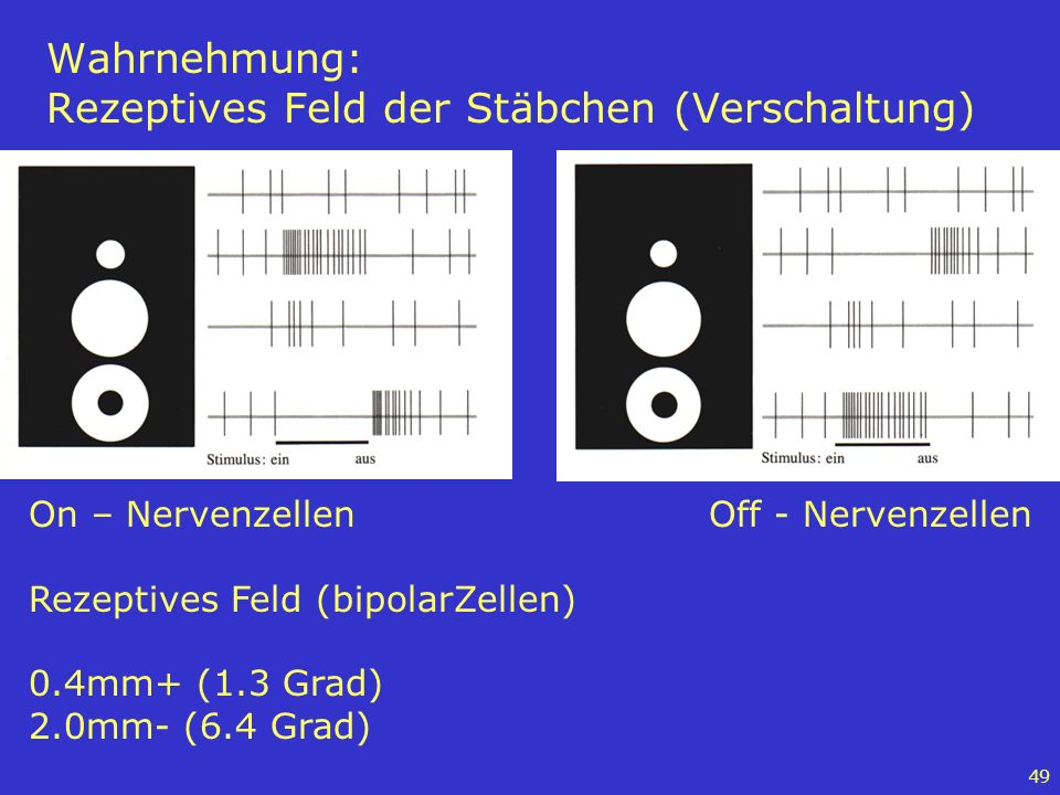 Wahrnehmung: Rezeptives Feld der Stäbchen (Verschaltung)