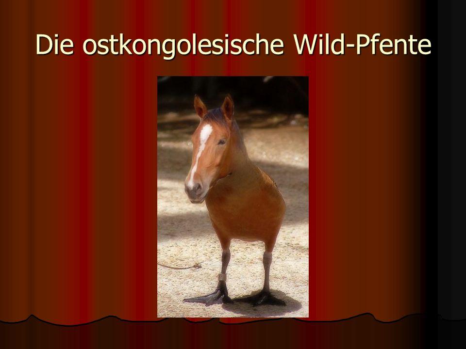 Die ostkongolesische Wild-Pfente