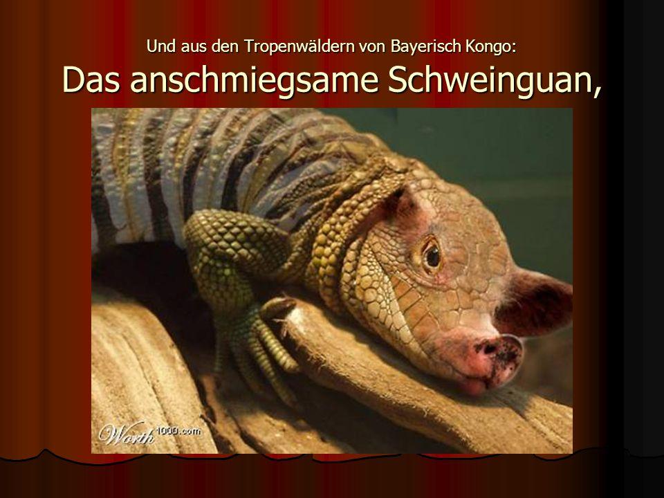 Und aus den Tropenwäldern von Bayerisch Kongo: Das anschmiegsame Schweinguan,