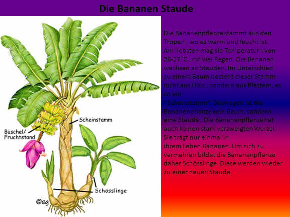 Die Bananen Staude Die Bananenpflanze stammt aus den Tropen , wo es warm und feucht ist. Am liebsten mag sie Temperaturn von.