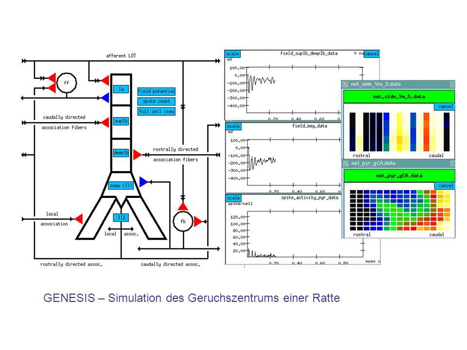 GENESIS – Simulation des Geruchszentrums einer Ratte