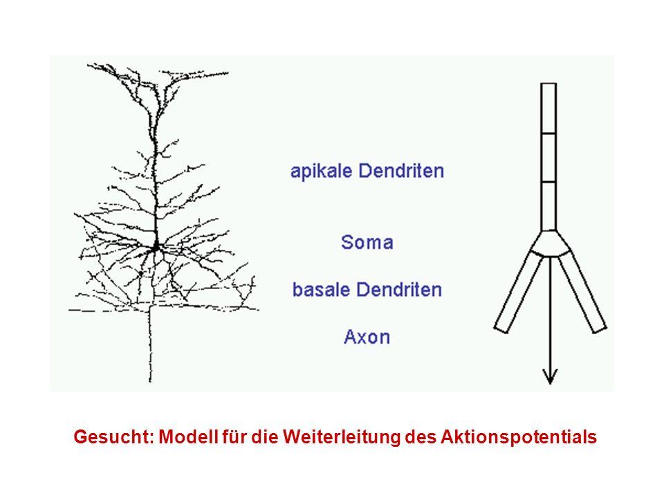 Gesucht: Modell für die Weiterleitung des Aktionspotentials