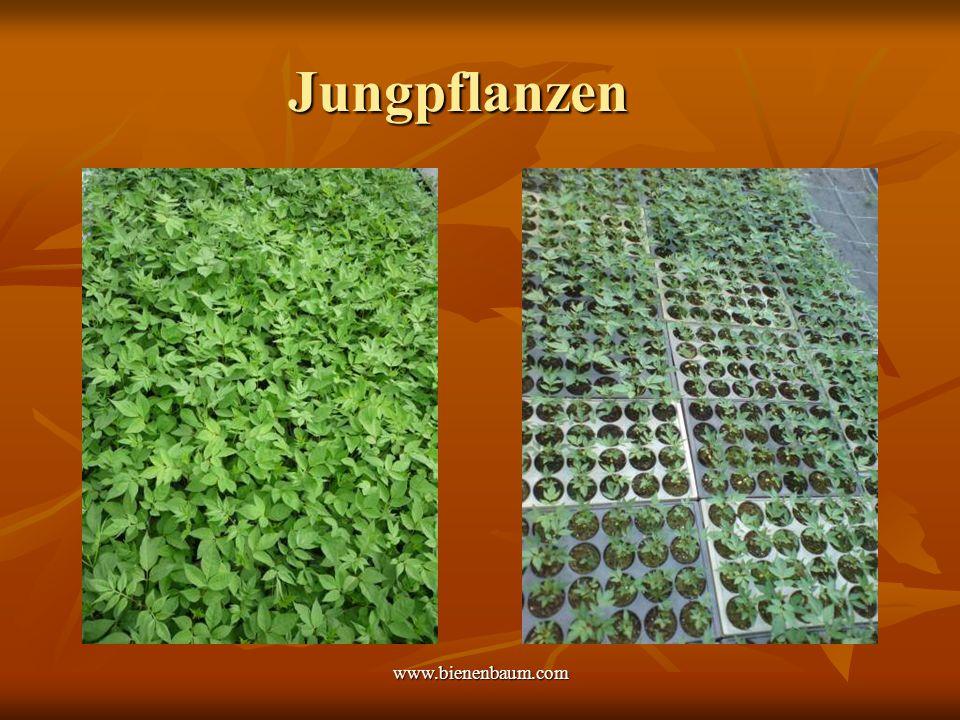Jungpflanzen www.bienenbaum.com