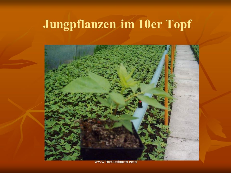 Jungpflanzen im 10er Topf