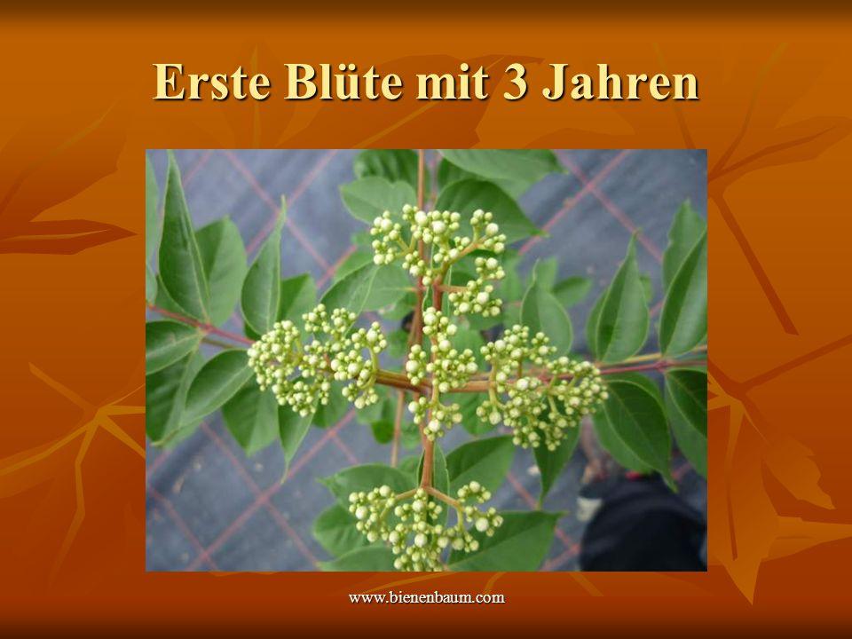 Erste Blüte mit 3 Jahren www.bienenbaum.com