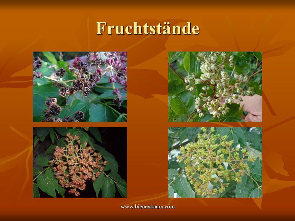 Fruchtstände www.bienenbaum.com