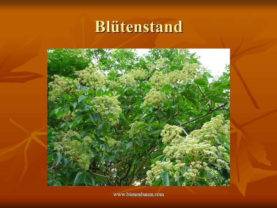 Blütenstand www.bienenbaum.com