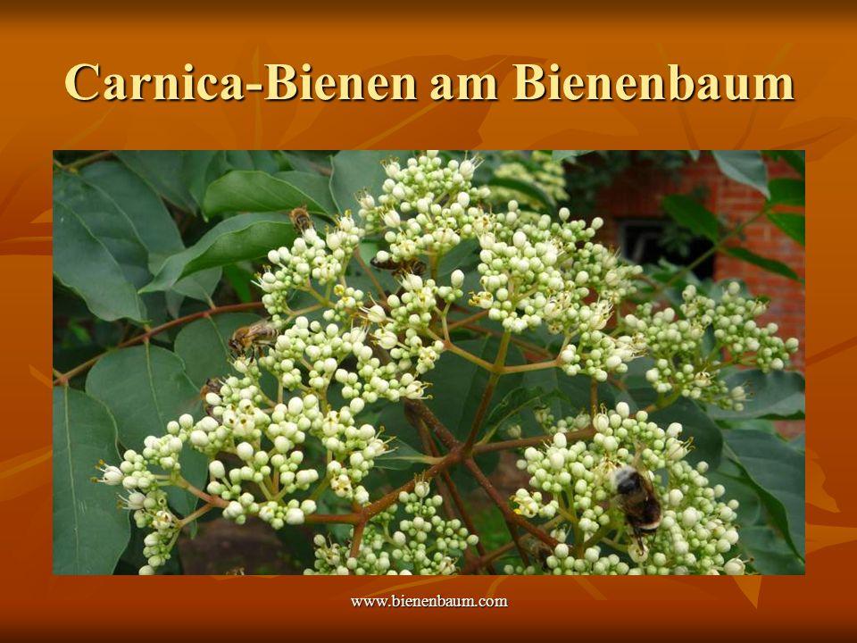 Carnica-Bienen am Bienenbaum