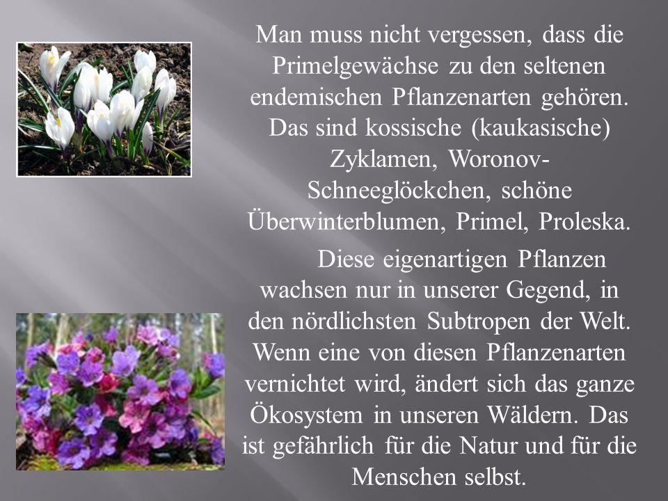 Man muss nicht vergessen, dass die Primelgewächse zu den seltenen endemischen Pflanzenarten gehören. Das sind kossische (kaukasische) Zyklamen, Woronov- Schneeglöckchen, schöne Überwinterblumen, Primel, Proleska.